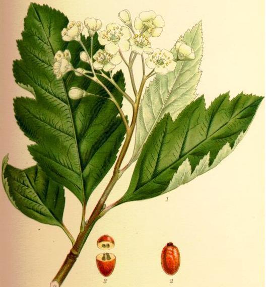 Schwedische Mehlbeere (Sorbus intermedia), Illustration