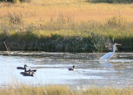 File summer lake wildlife refuge oregon ducks egret for Oregon fish and wildlife
