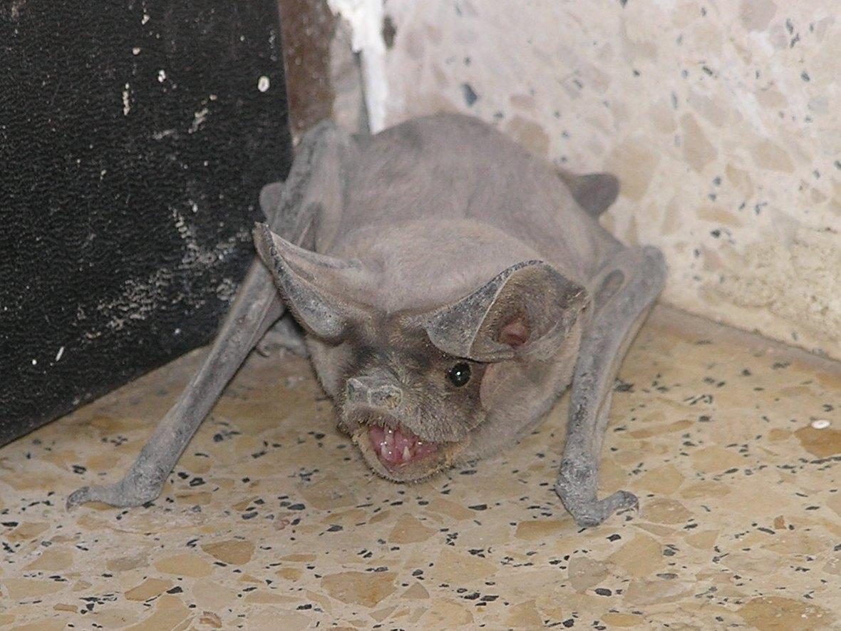 european free tailed bat wikipedia