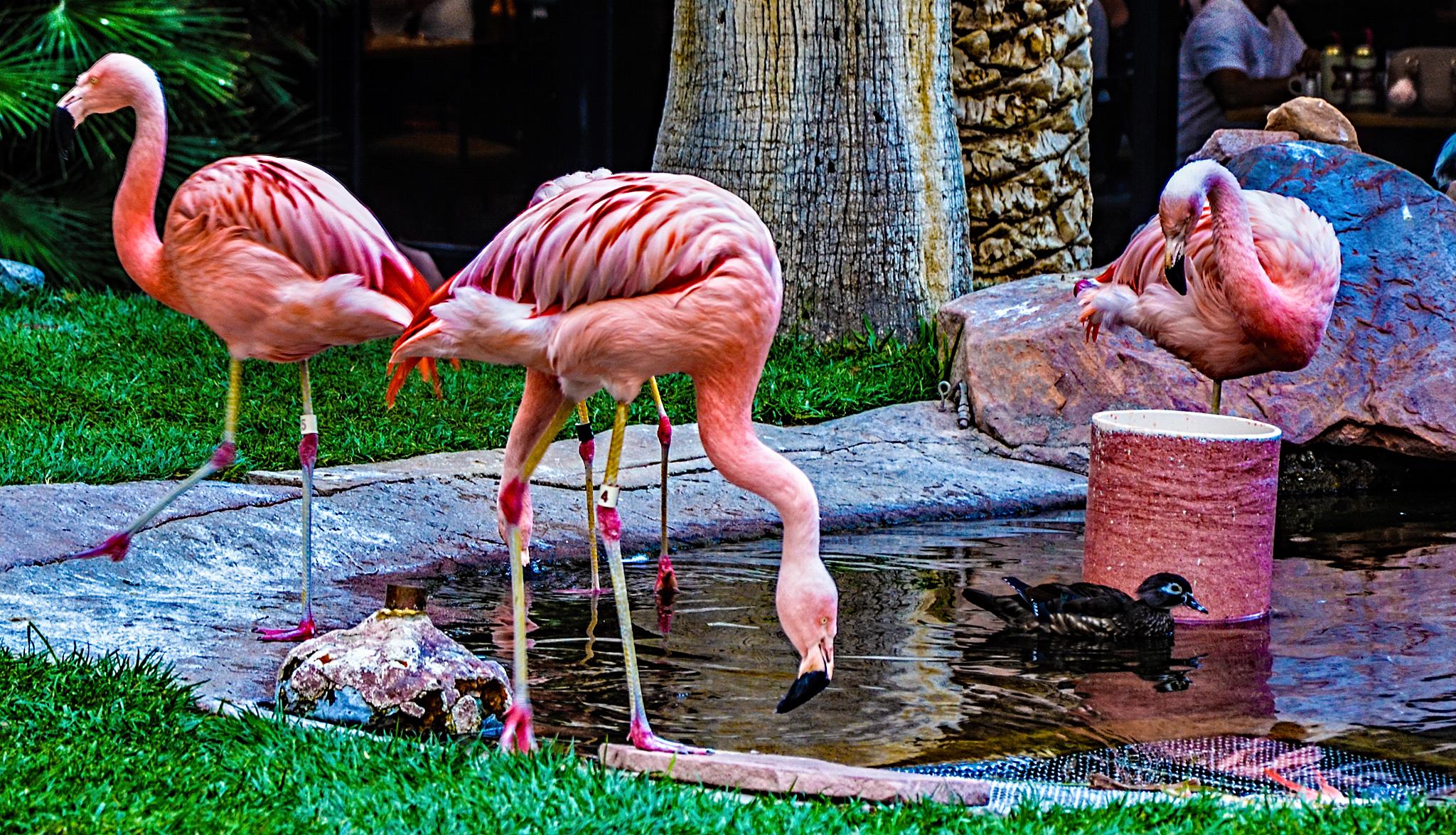 Казино розовый фламинго википедия casino x free online