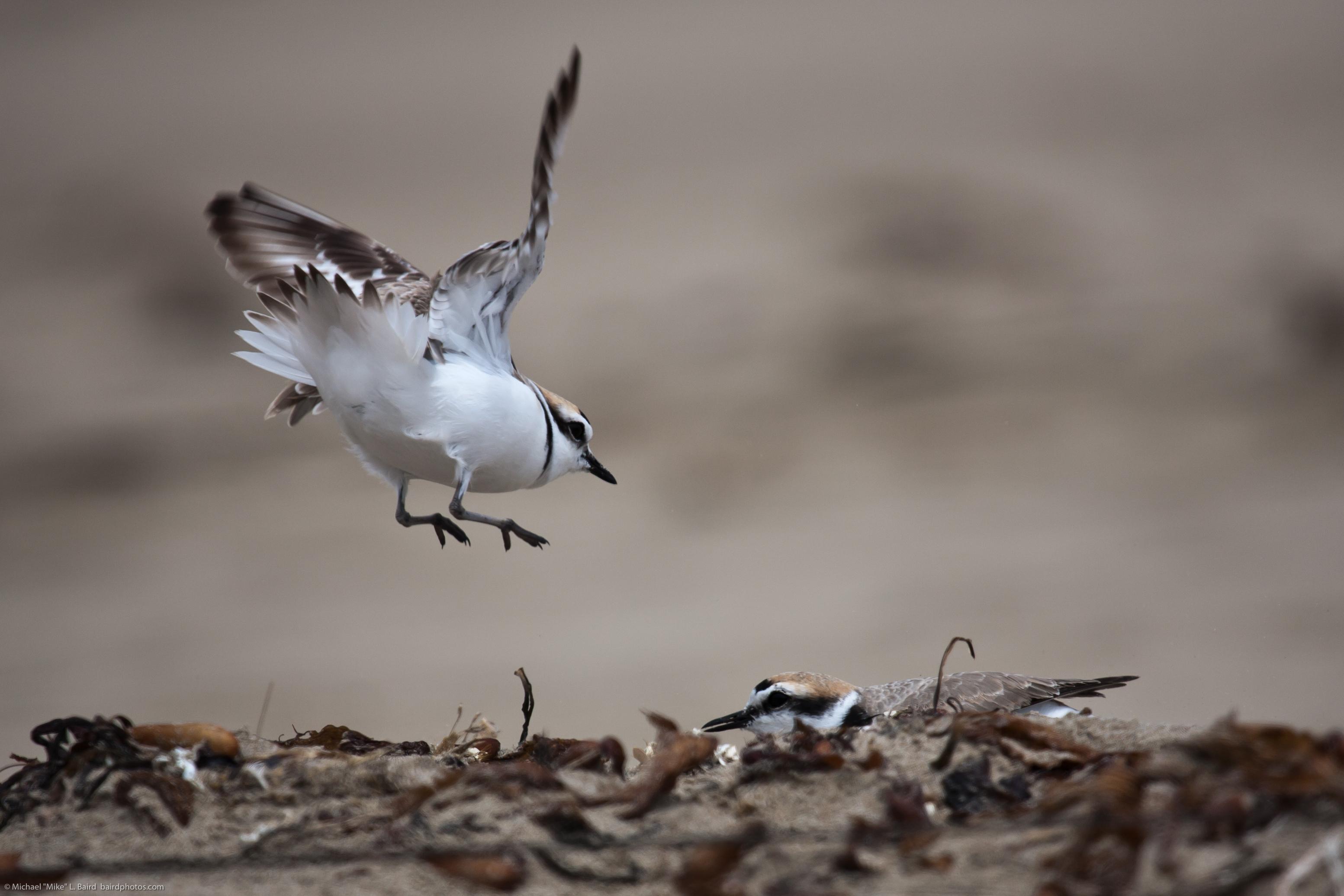 filewestern snowy plover charadrius nivosus landing