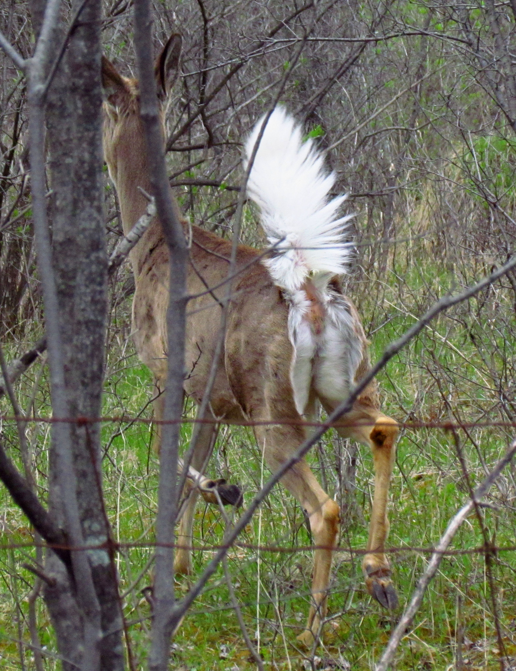Description White-tailed deer, tail up.jpg