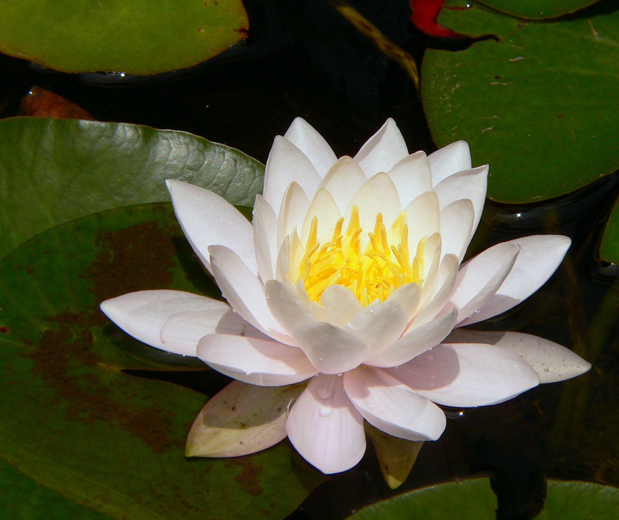 still watersnotes from a virginia shire white lotus day, Natural flower