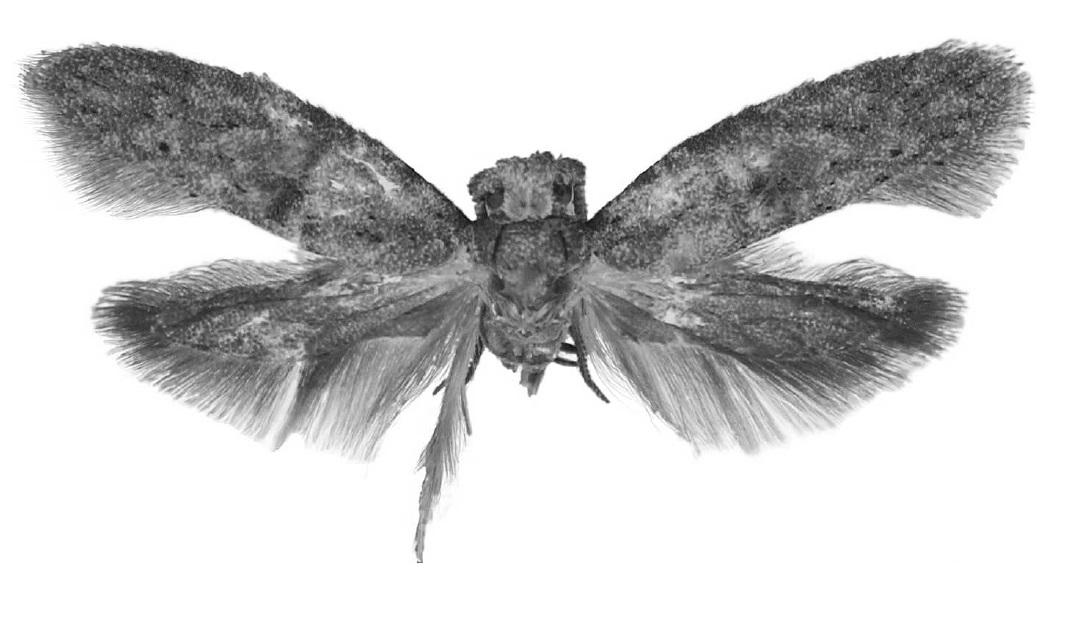 filewockia chewbacca holotypejpg wikimedia commons