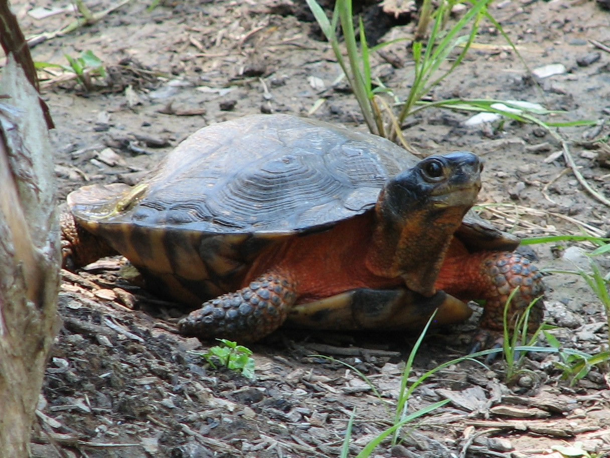 Wood turtle - Wikipedia