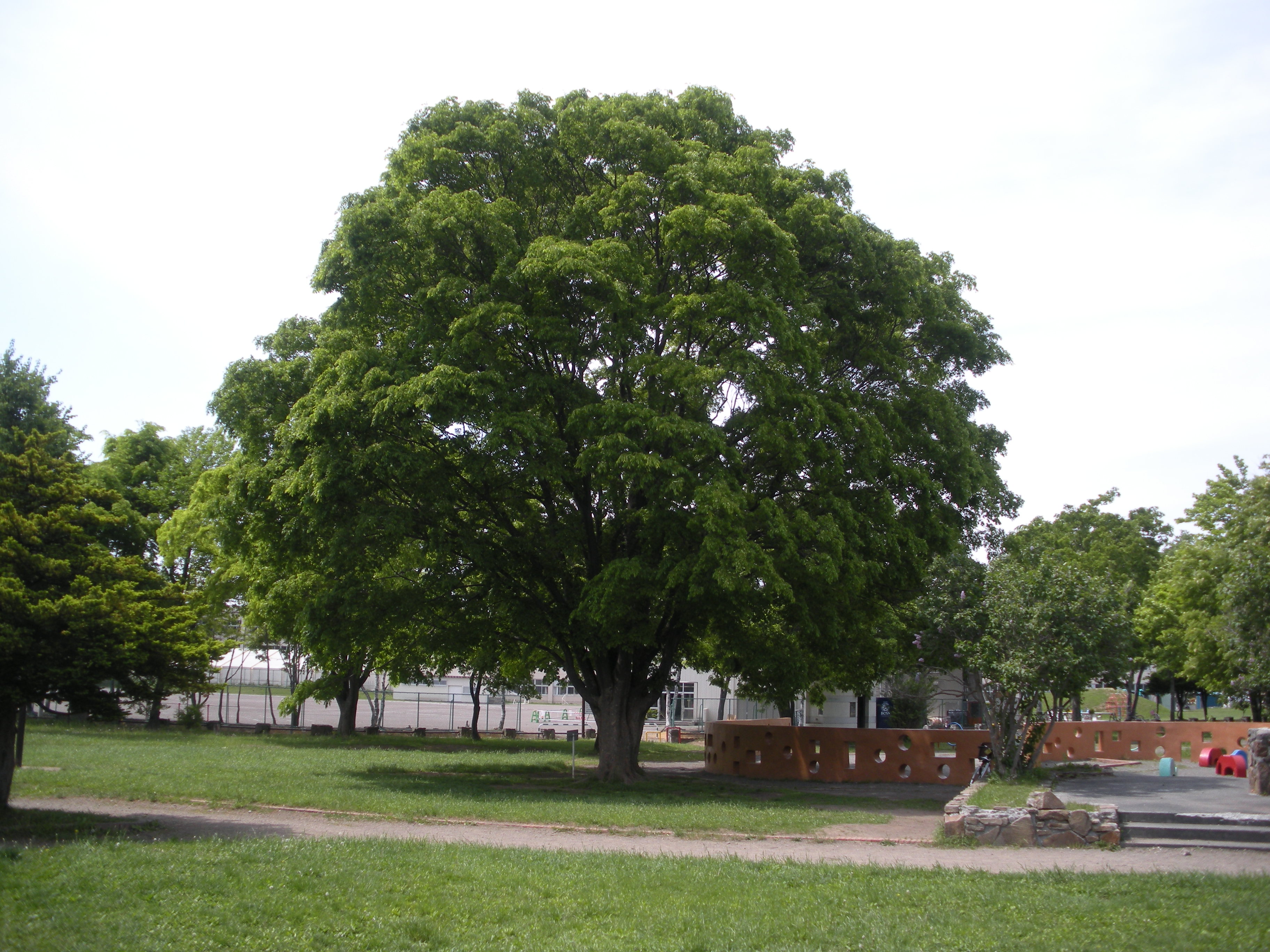 File zelkova serrata in oasa higashimachipark ebetsu for Arboles de jardin de hoja perenne