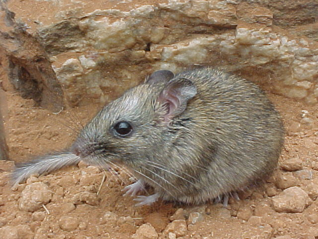 http://upload.wikimedia.org/wikipedia/commons/3/39/Zyzomys_pedunculatus.jpg