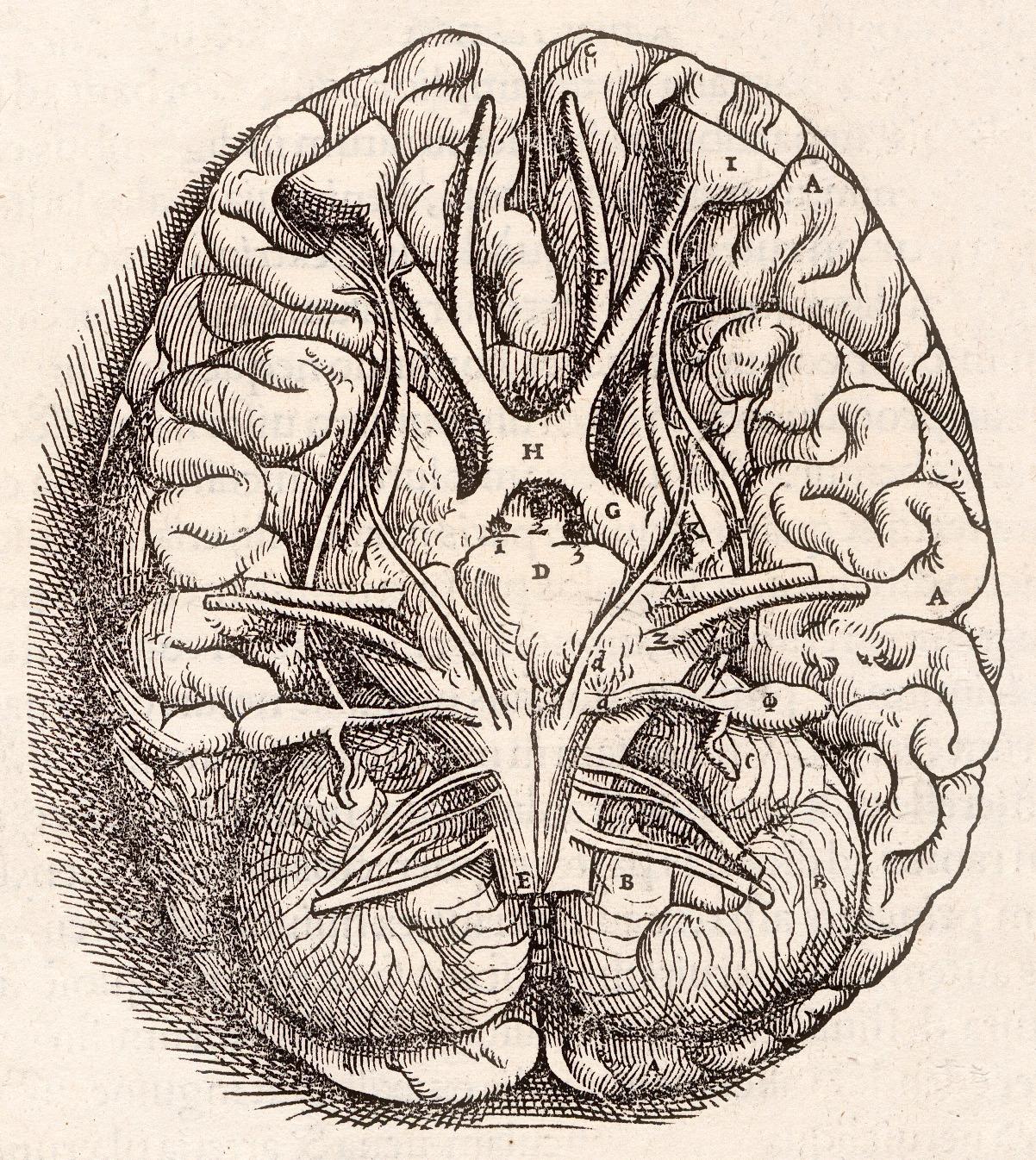 1543, Andreas Vesalius%27 Fabrica, Base Of The Brain.jpg