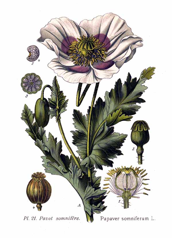 File:21 Papaver somniferum L.jpg - Wikimedia Commons