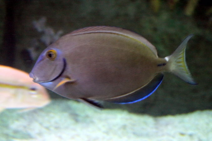 A. bahianus.jpg