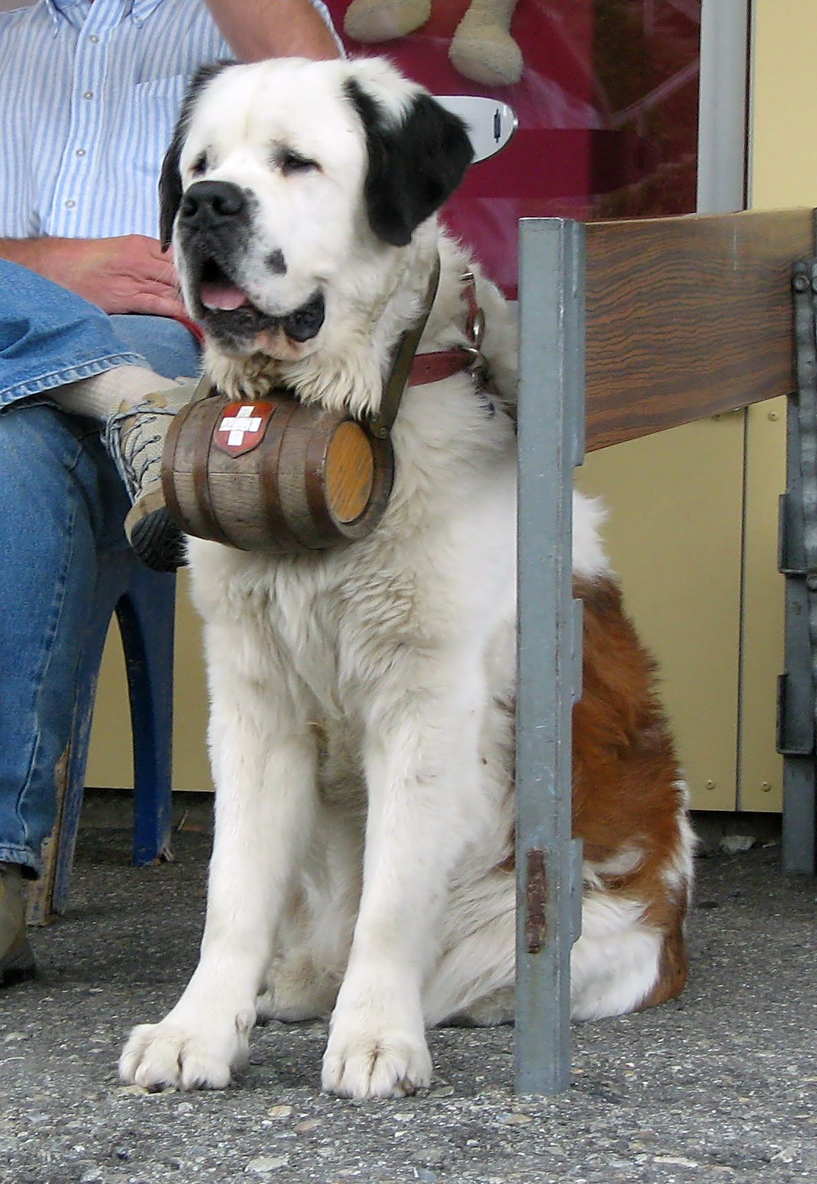 File:A St. Bernard dog with barrel.JPG - Wikimedia Commons