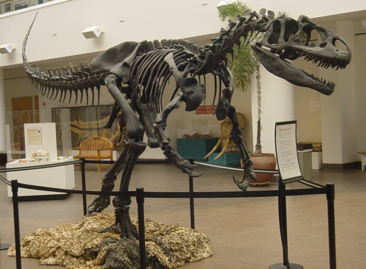 http://upload.wikimedia.org/wikipedia/commons/3/3a/Allosaurus_SDNHM.jpg
