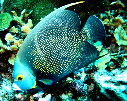 Angel fish bild.JPG