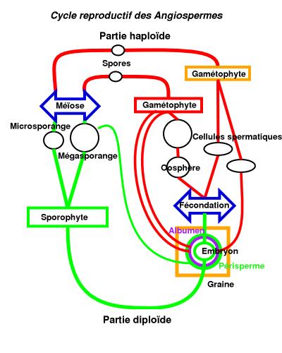 Spermatophyte  Wikipedia