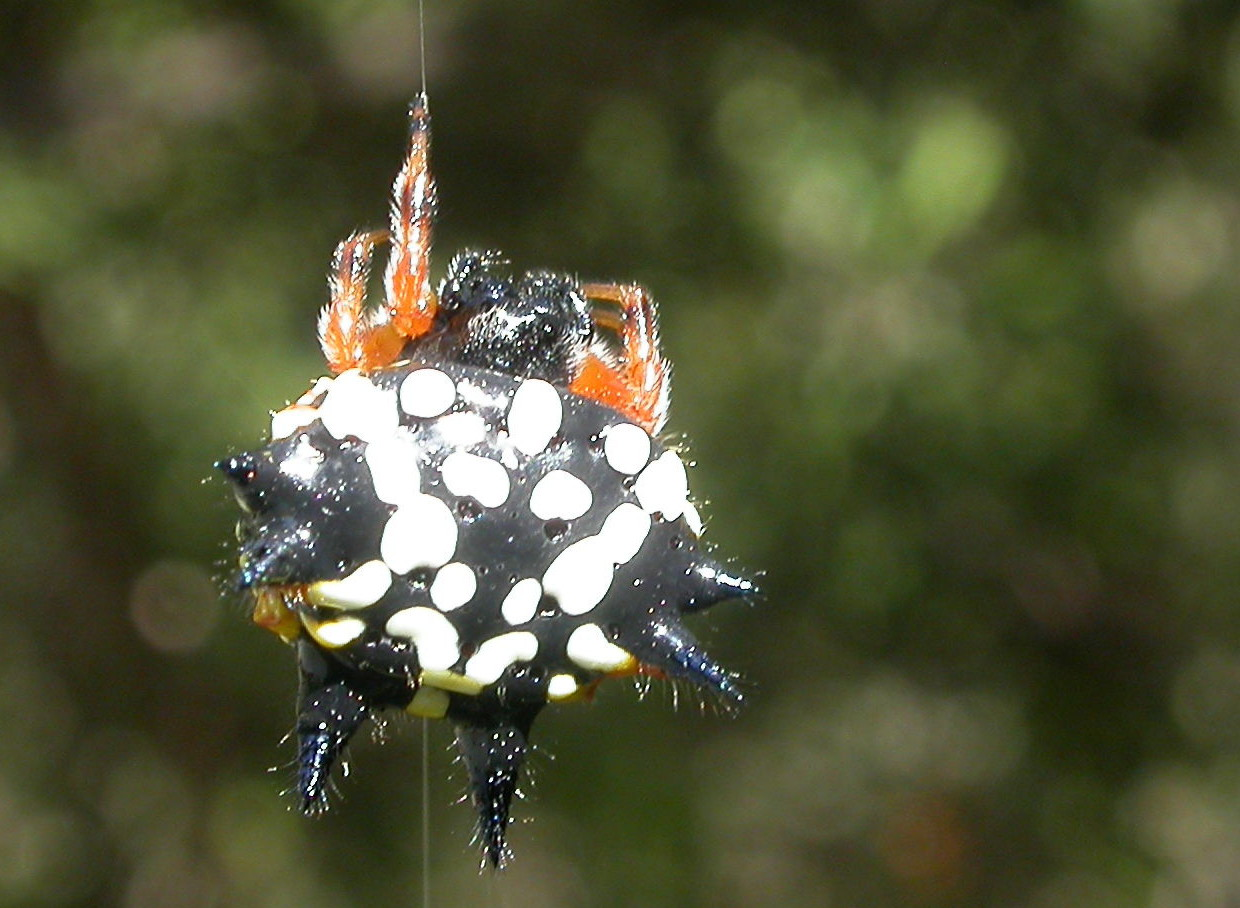 https://upload.wikimedia.org/wikipedia/commons/3/3a/Austracantha_minax_1_cropped.jpg