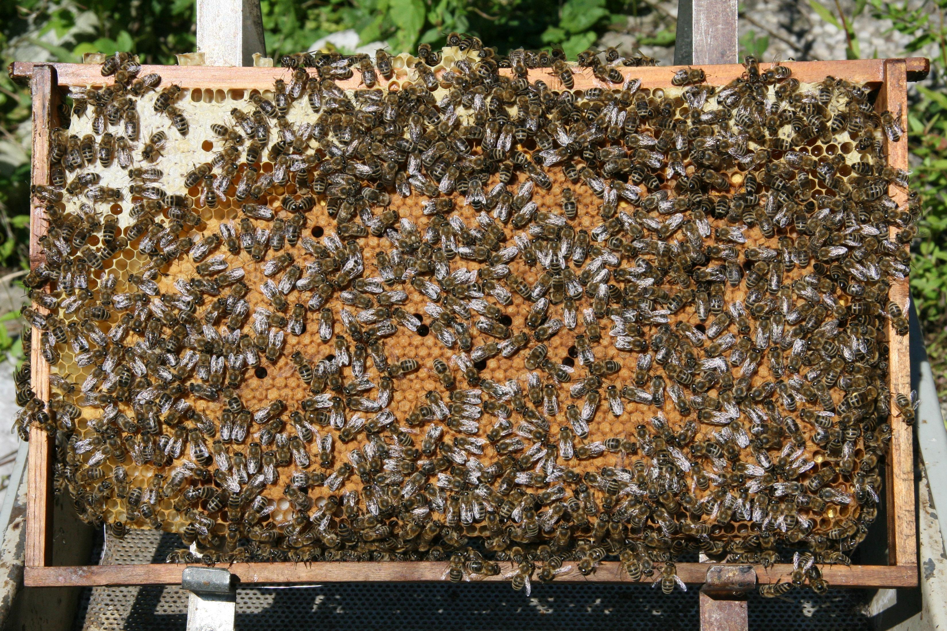 Datei:Bienen auf Wabe 3.jpg – Wikipedia