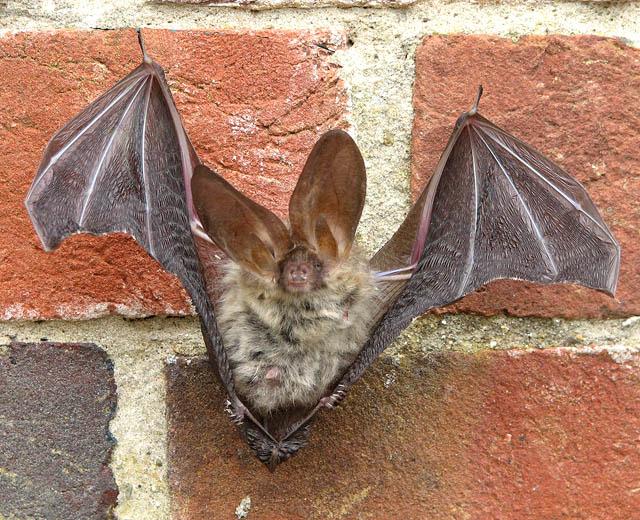 Bats Hibernate Long Island Ny