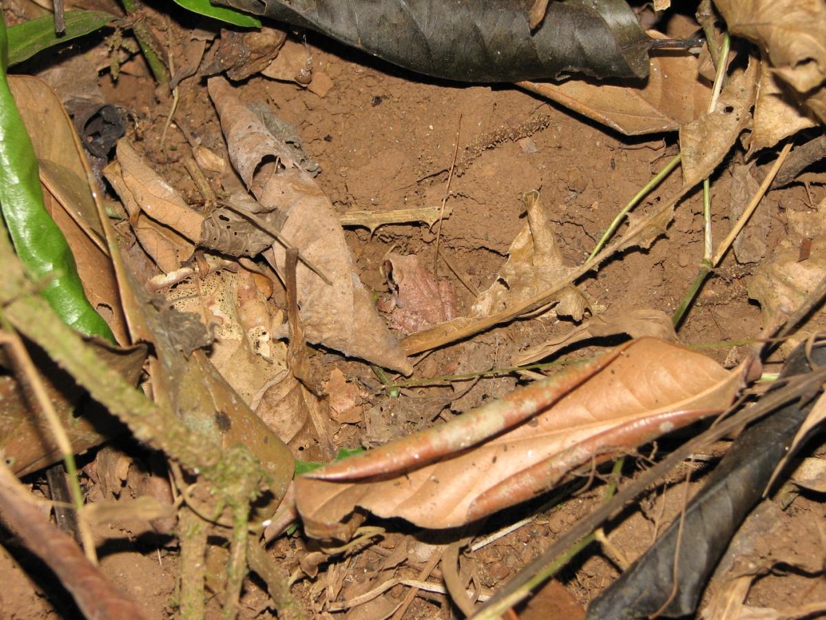 Nájdeš na obrázku žabu? Je vemi dobre prispôsobená farbou prostrediu.