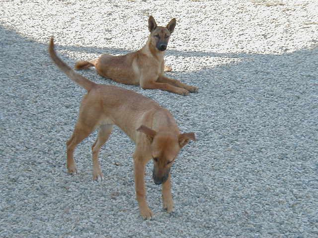 Dog Breeding Program