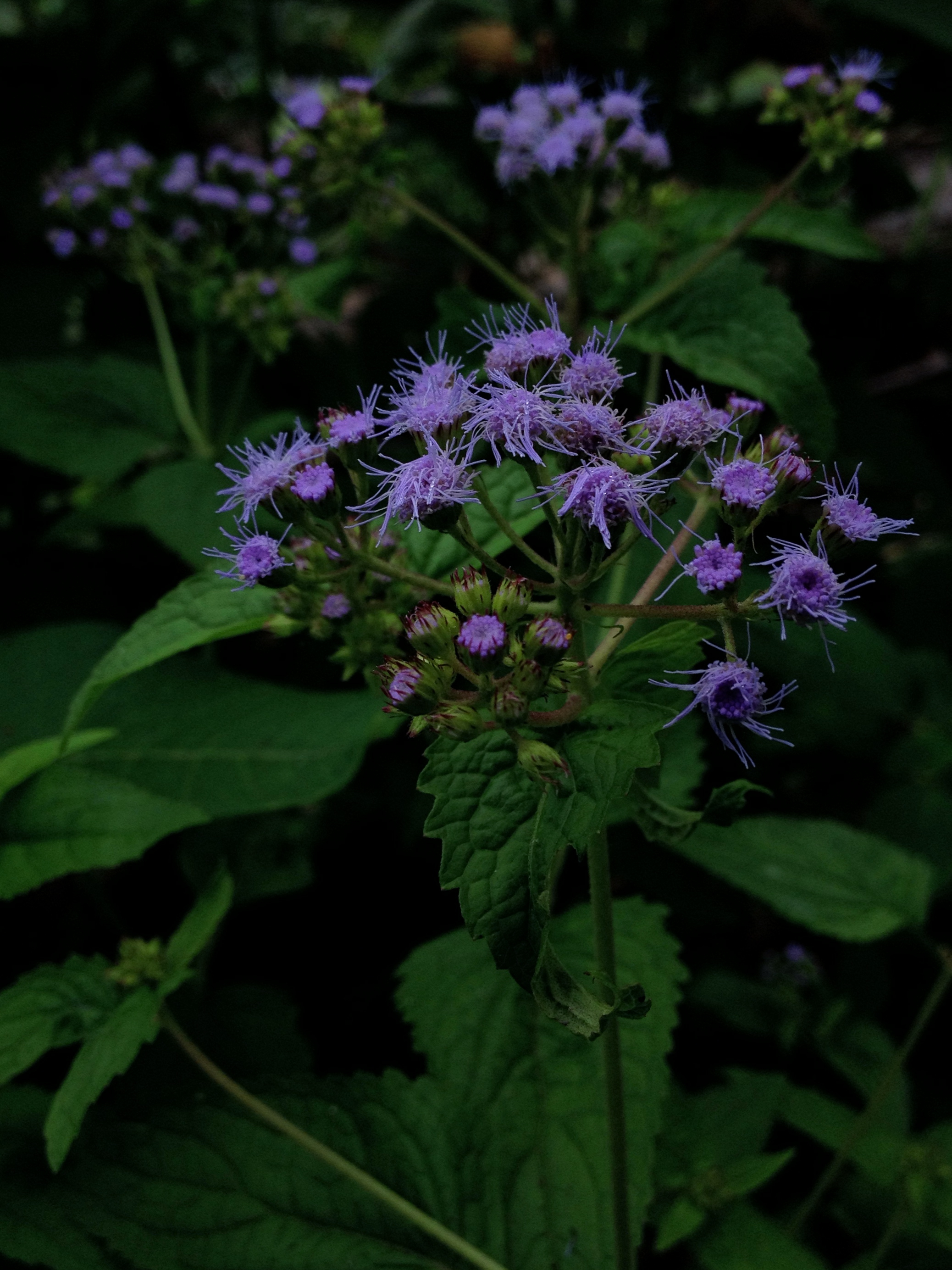 Fileconoclinium coelestinum blue mist flower 2g wikimedia fileconoclinium coelestinum blue mist flower 2g izmirmasajfo