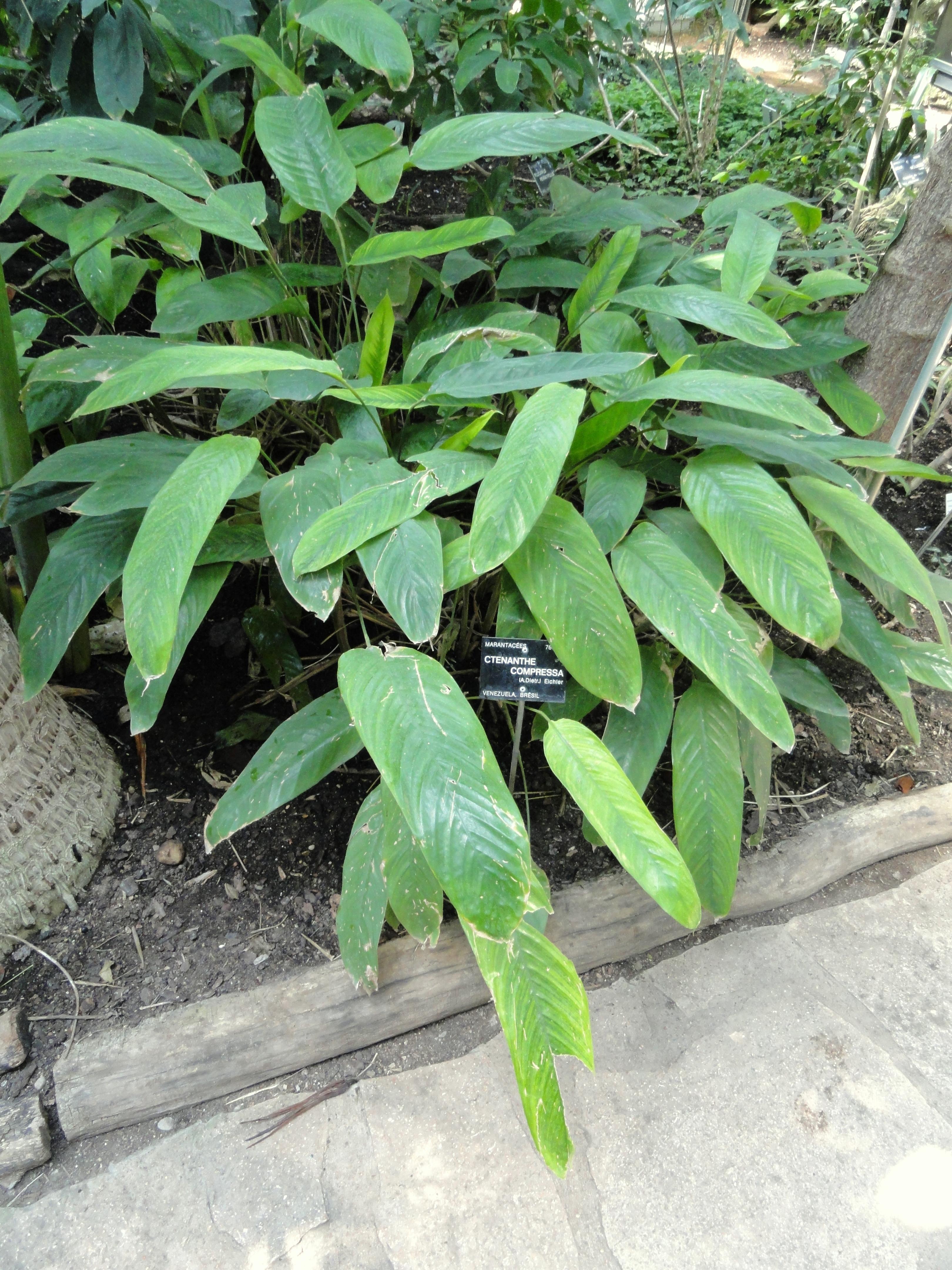 File ctenanthe compressa jardin botanique de lyon - Jardin botanique de lyon ...