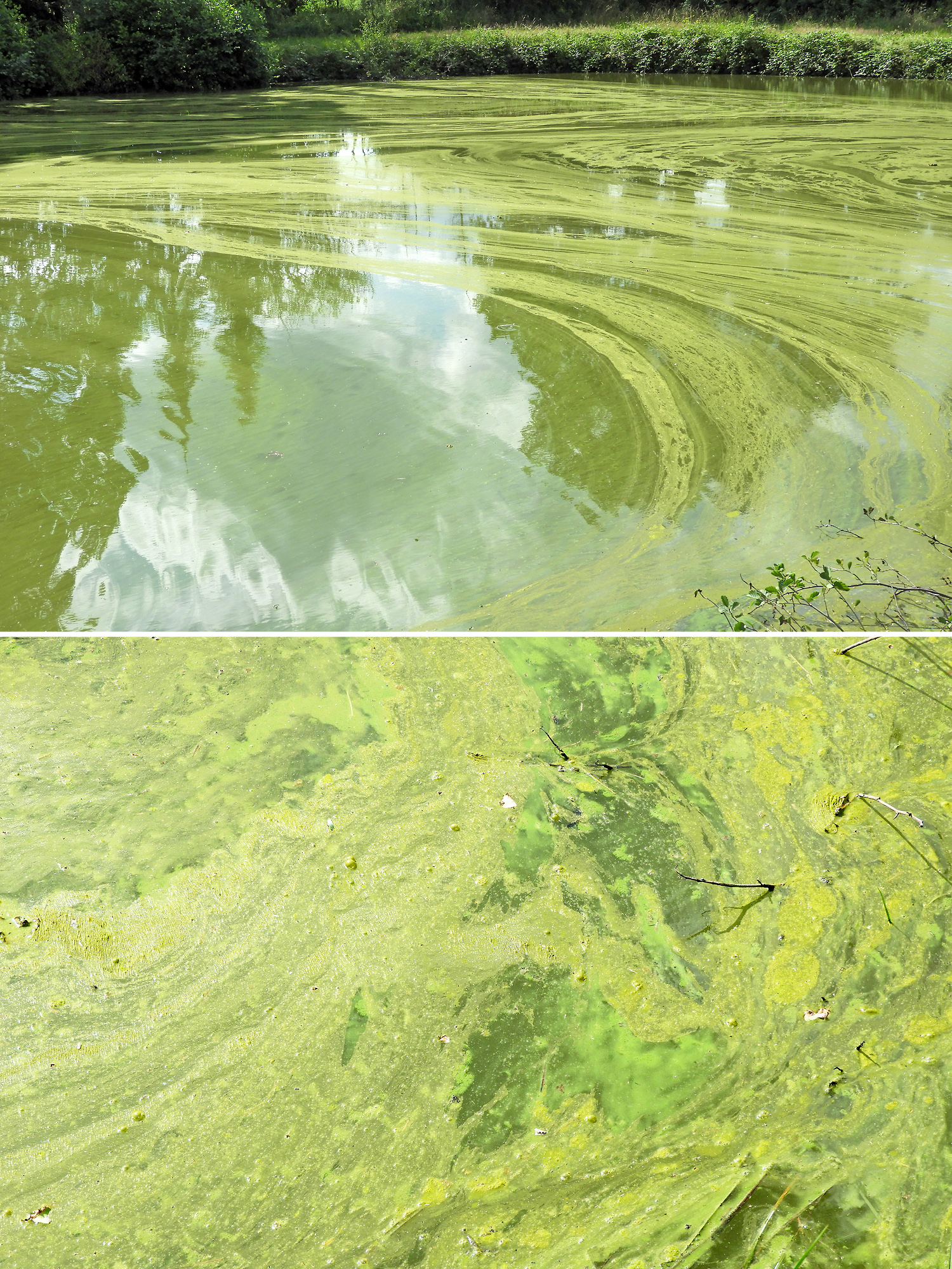 File cyanobacteria wikimedia commons for Algen im fischteich