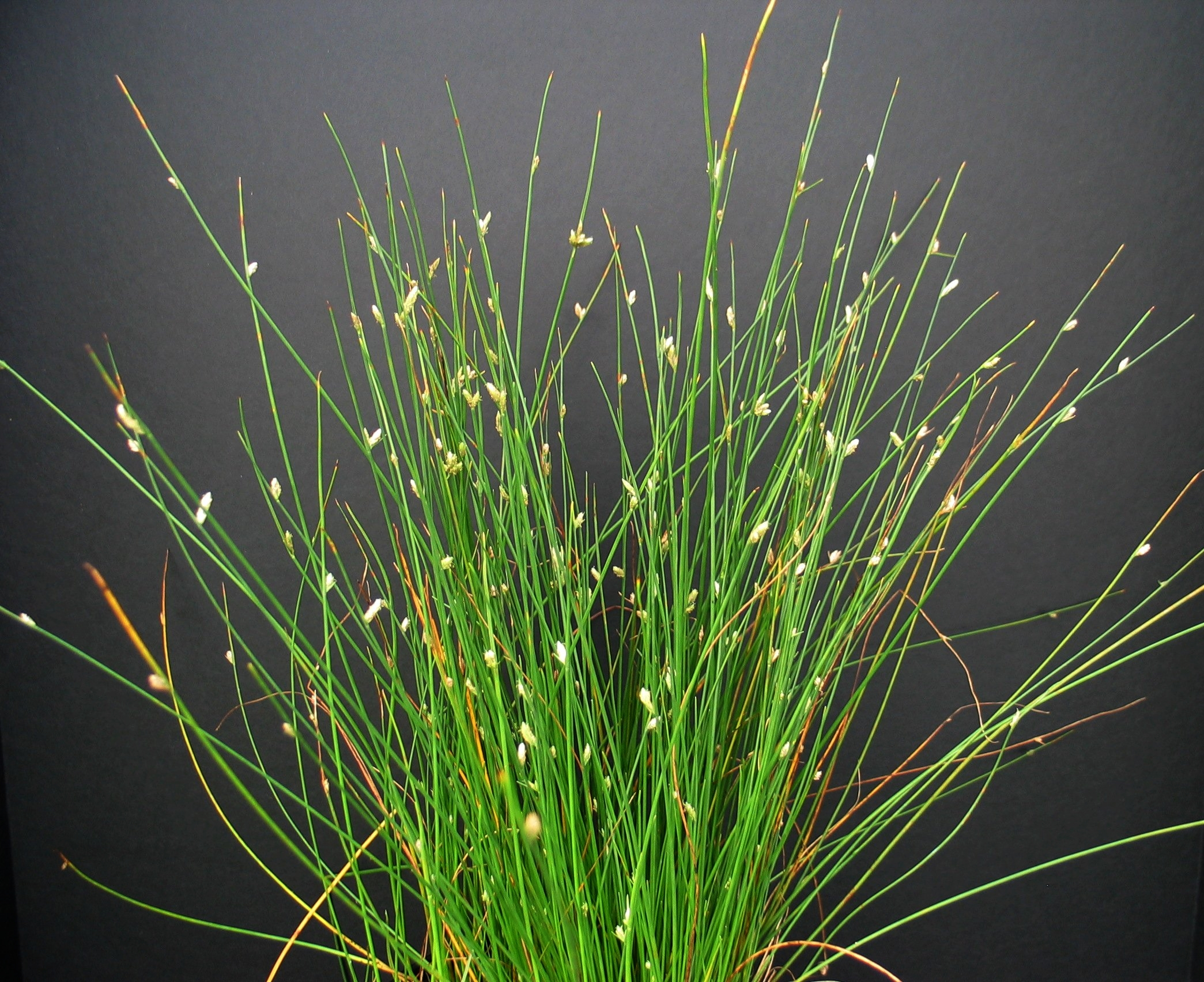 SEINet - Arizona Chapter - Cyperus laevigatus