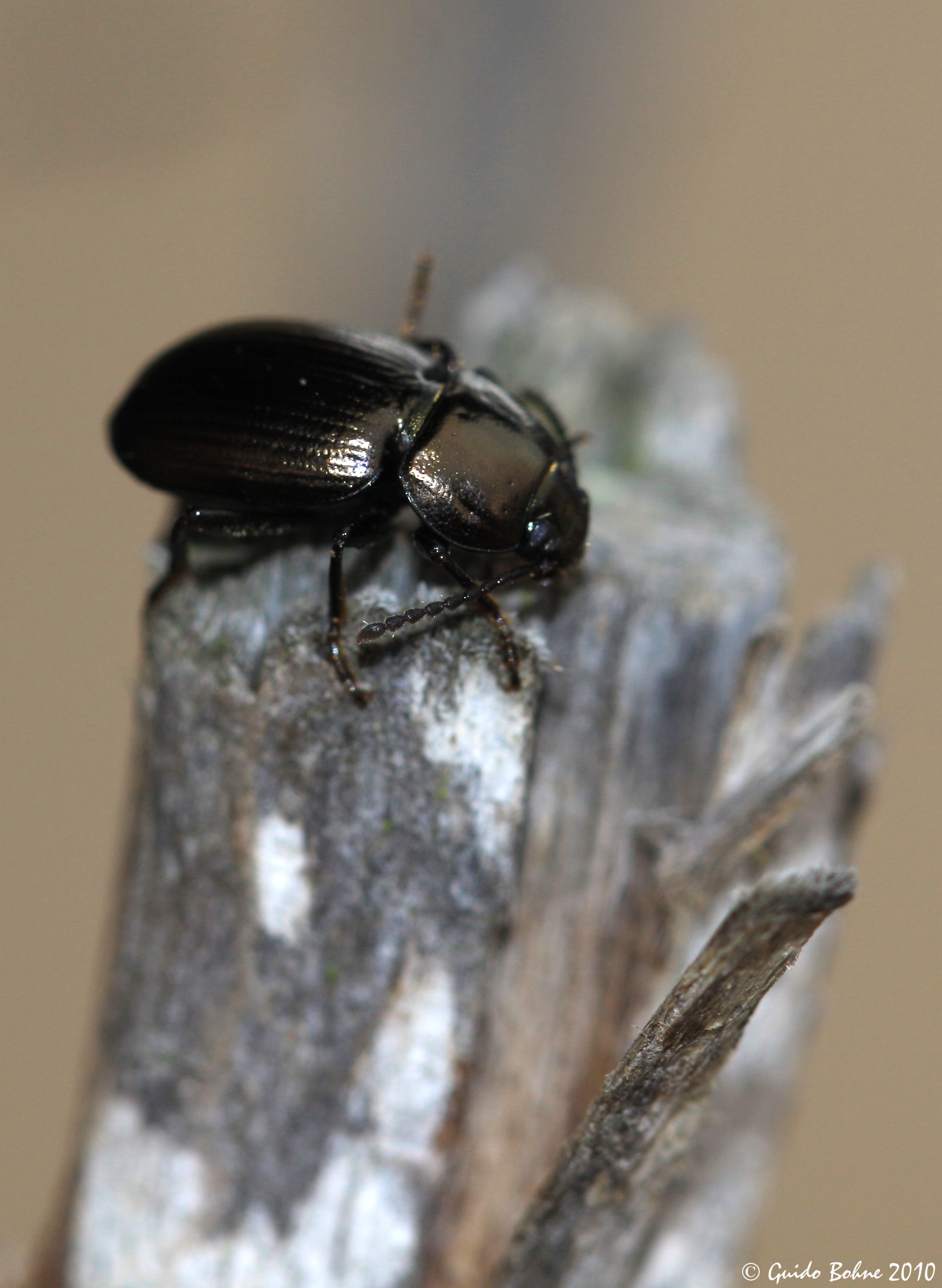 Darkling beetle size - photo#18