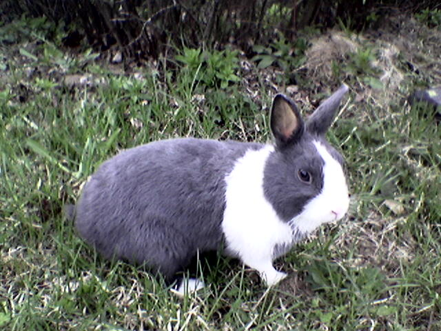 File:Dutch rabbit.jpg