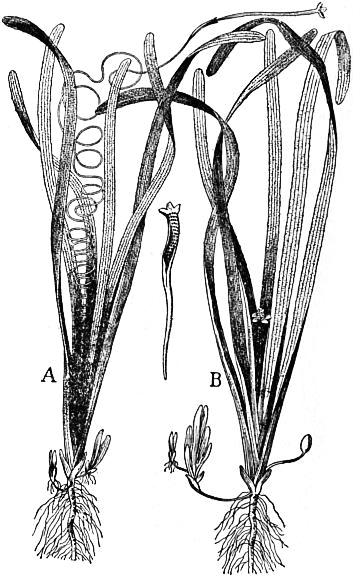 EB1911 - Hydrocharideae - Fig. 2.—Vallisneria spiralis—Eel grass—about 1⁄4 natural size. A, Female plant; B, Male plant.jpg