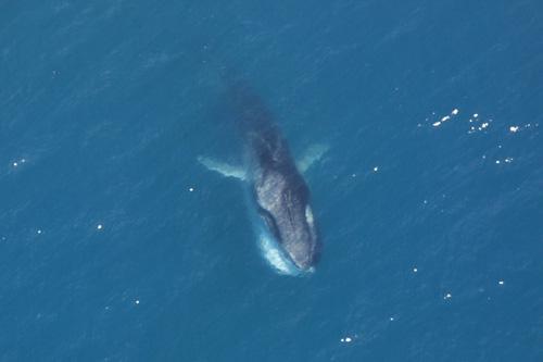 File:Fin Whale feeding.jpg