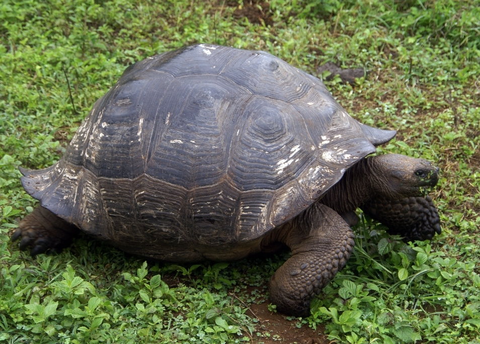 A tortoise of the C. n. porteri subspecies has a rounded shell shaped like a dome.