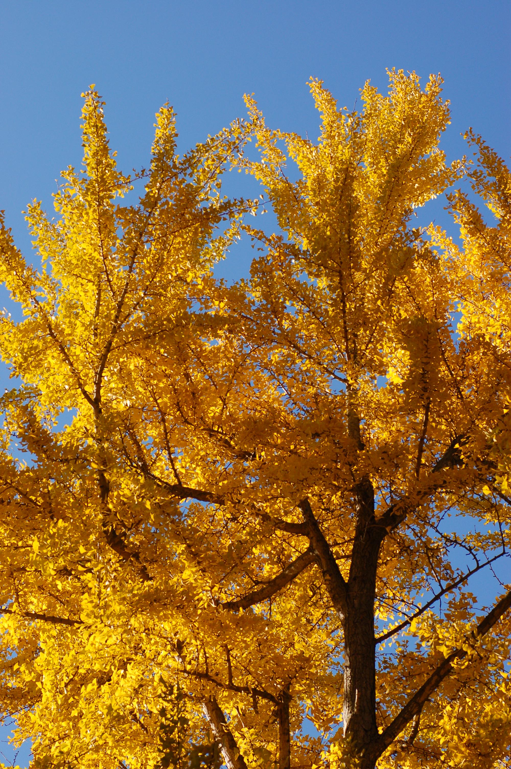 the ginkgo tree Ginkgo, maidenhair tree categories: poisonous plants, trees  ginkgo biloba bark and foliage annette wang, cc by-nc-20 ginkgo biloba form ginkgo cz, cc by - 20.