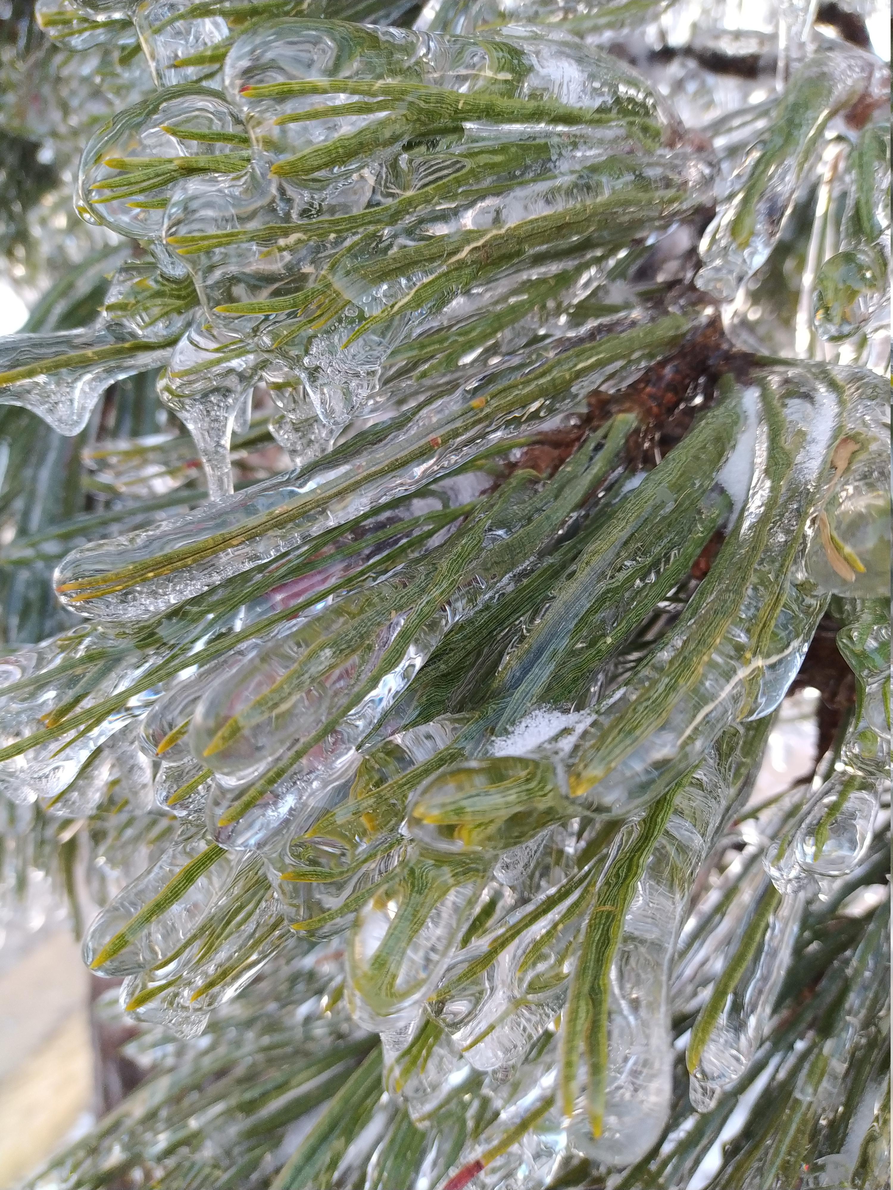 Glaze on a pine tree