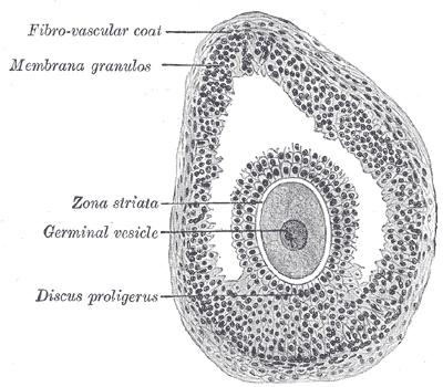 Vesicular Follicle Cumulus oophorus - Wik...