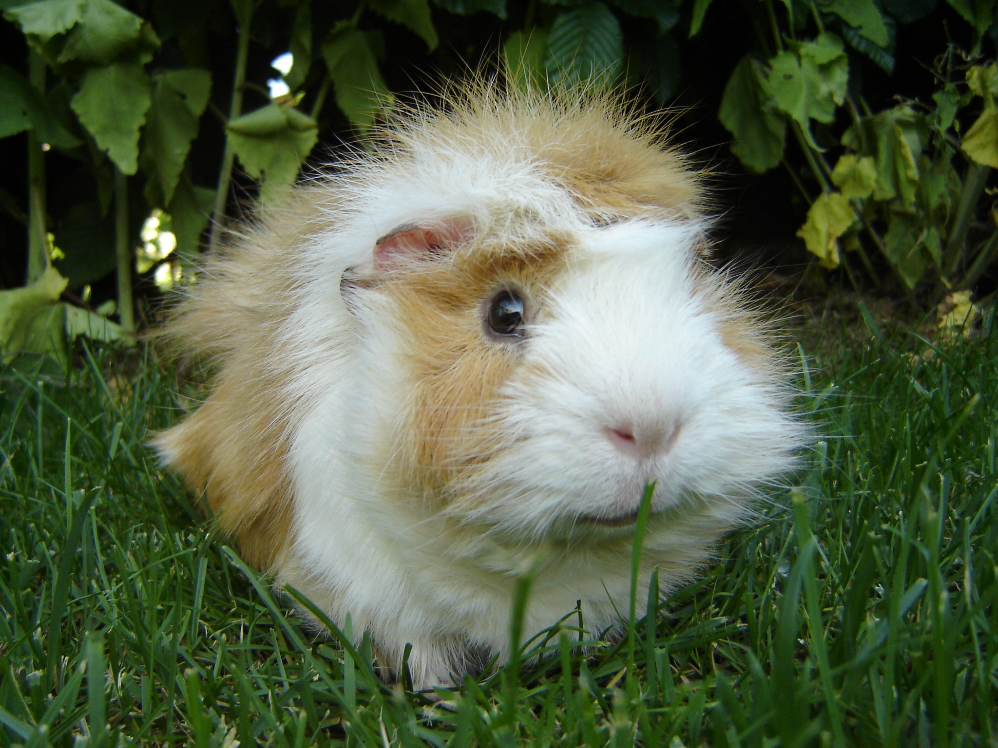 Datei guinea pig wikipedia for Guinea pig pictures free