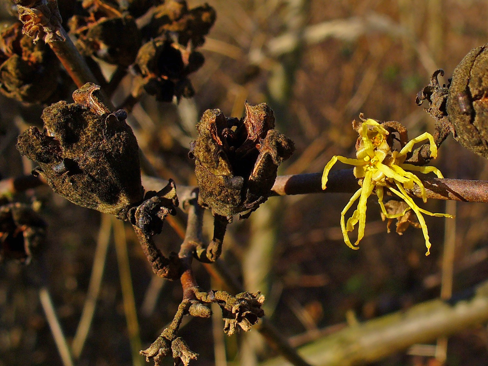Picture of Hamamelis