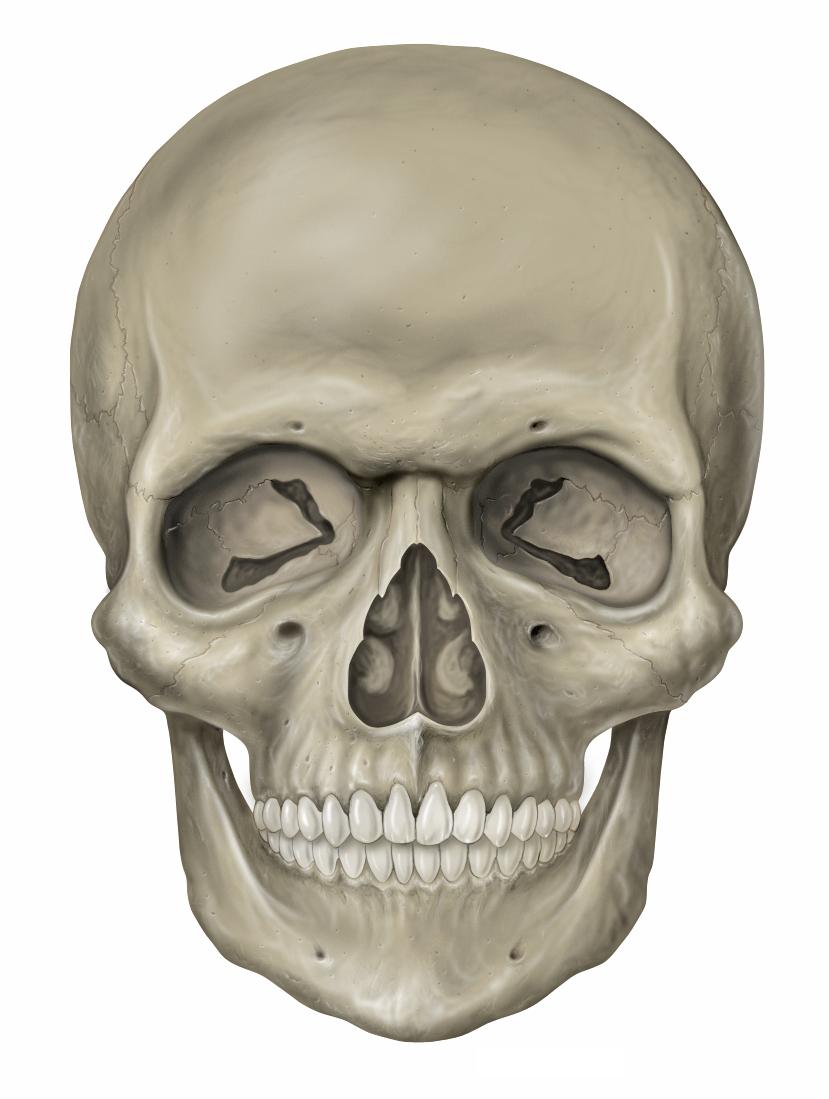 File Head skull anterior view Wikimedia mons
