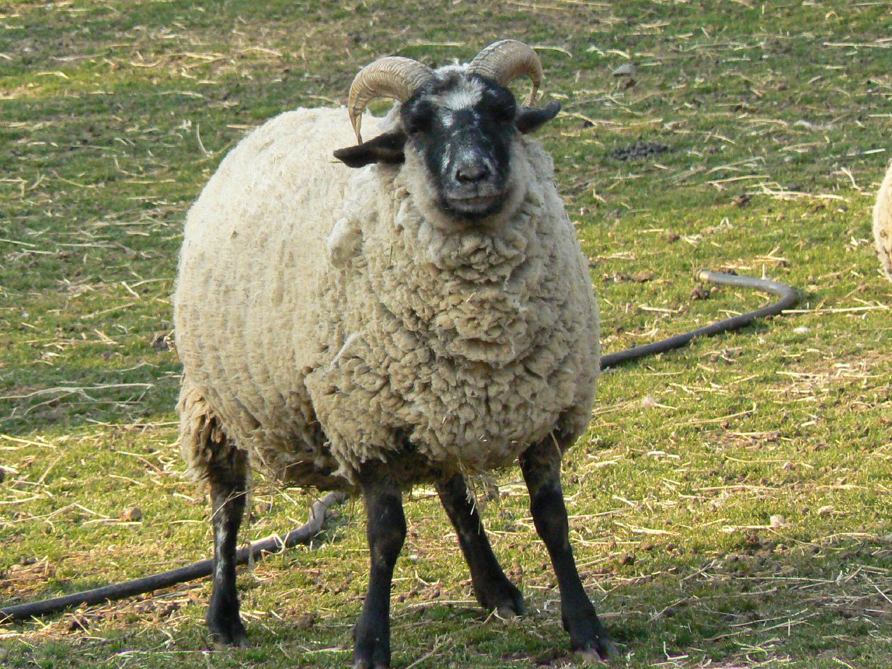 file hog island sheep at mt vernon 2 jpg wikimedia commons