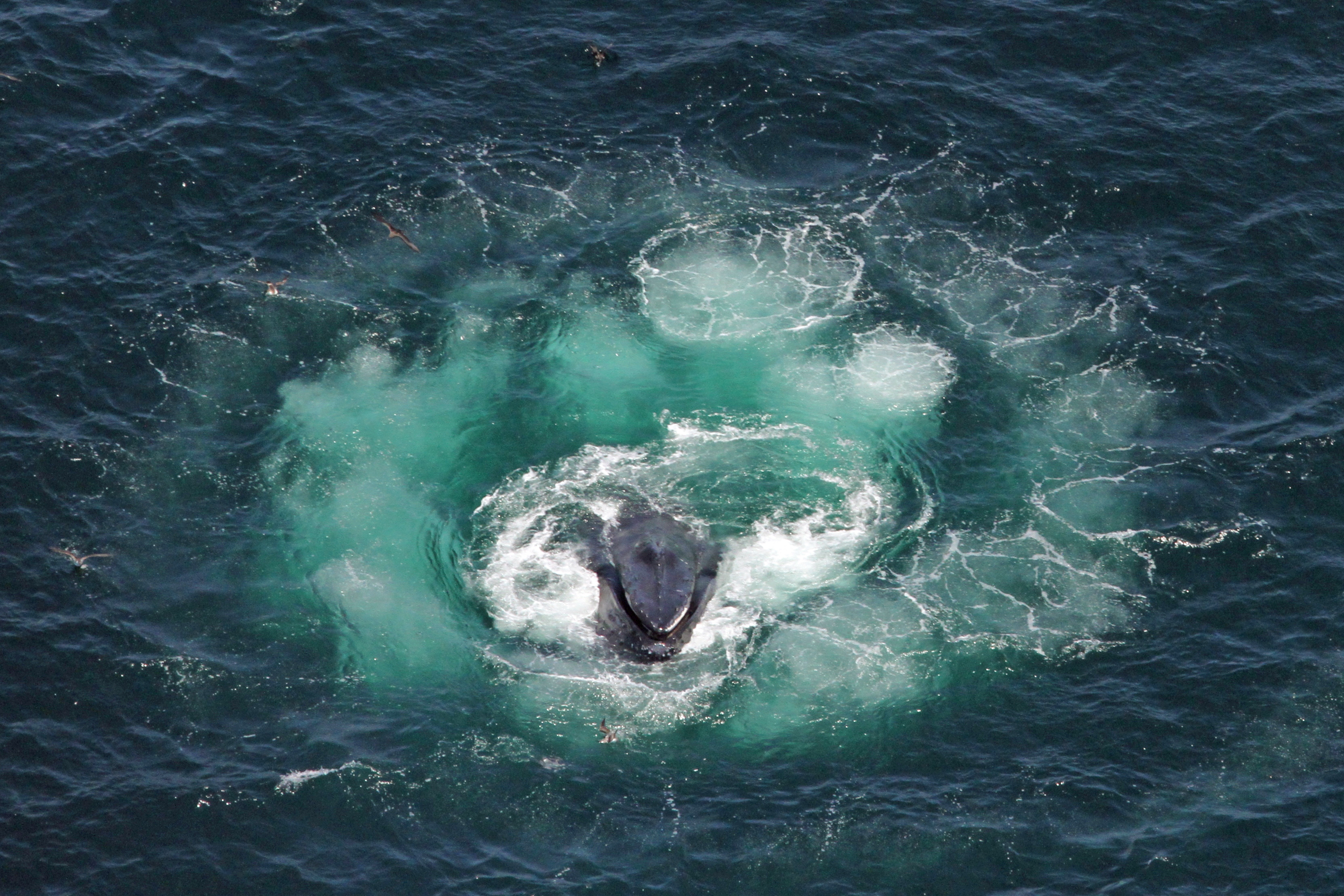 Image result for whale bubble net