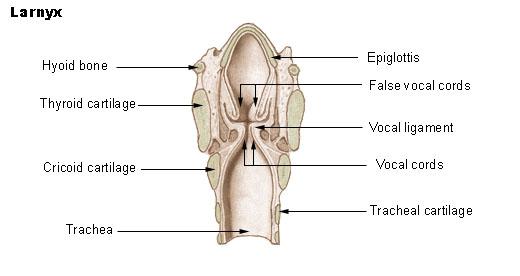 Larynx - Wikiwand
