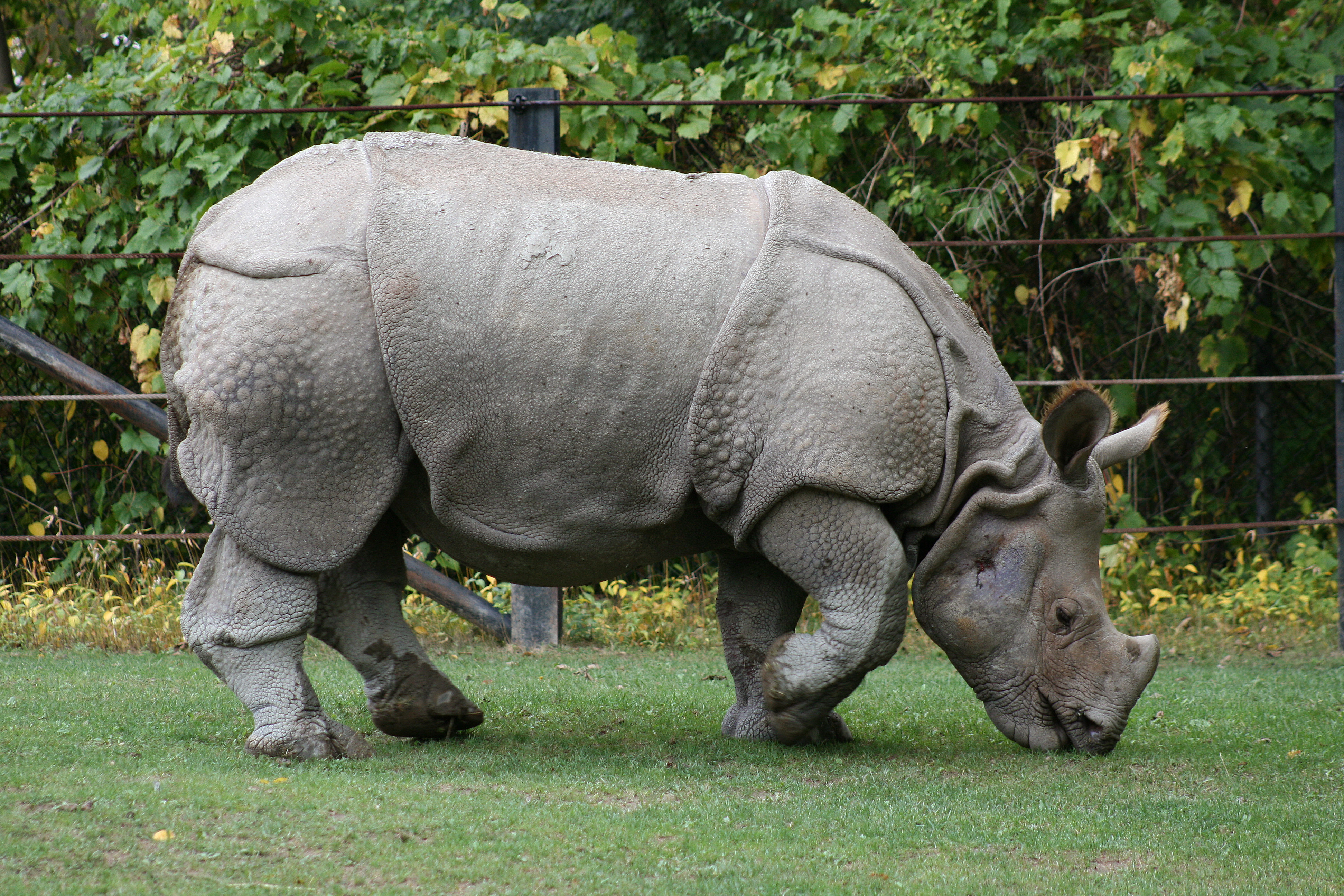 https://upload.wikimedia.org/wikipedia/commons/3/3a/Indian_Rhino_%28Rhinoceros_unicornis%291_-_Relic38.jpg