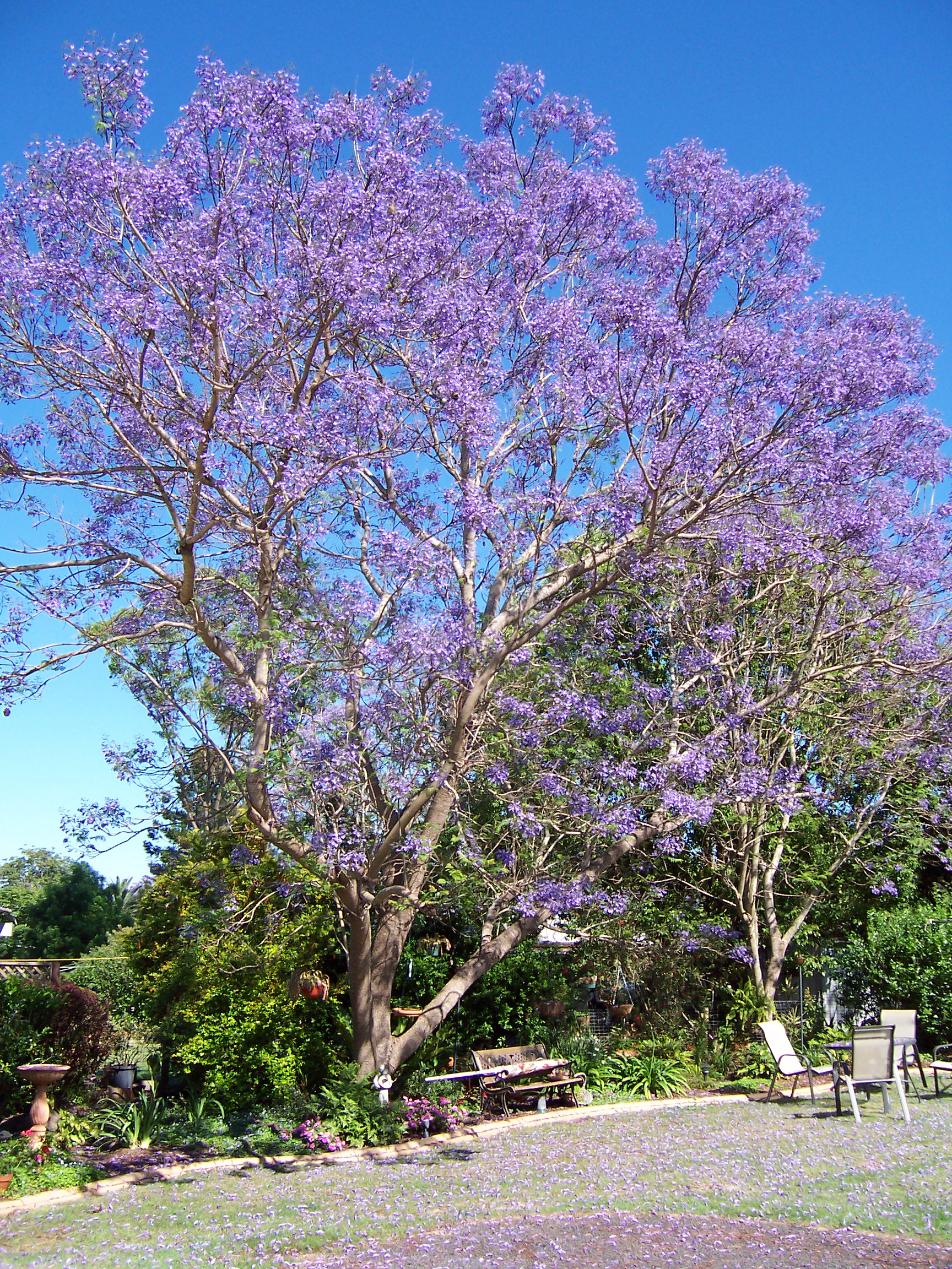 https://upload.wikimedia.org/wikipedia/commons/3/3a/Jacaranda1.JPG