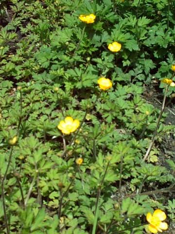 File:Jaskier rozłogowy Ranunculus repens.jpg