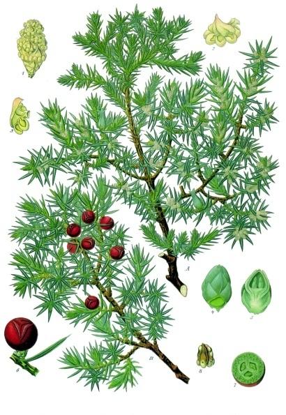 planche botanique du genevrier cade