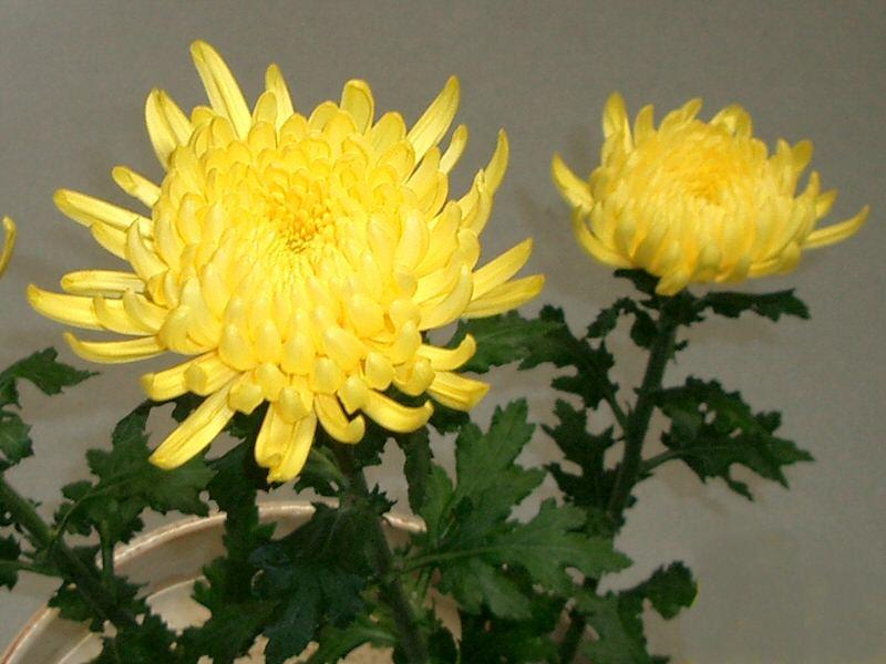 Chrysanthemum Wiktionary
