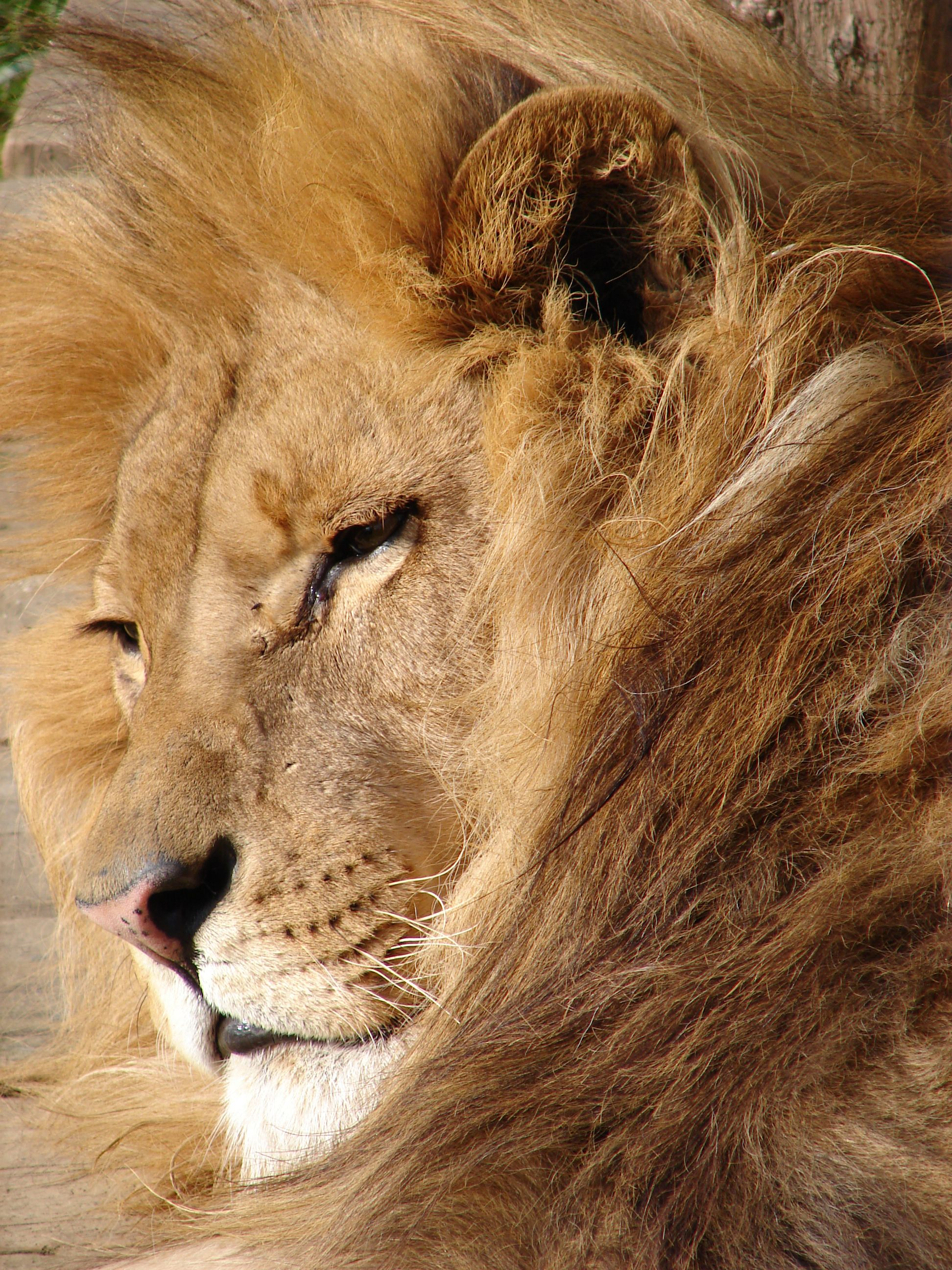 Description Lion 06584.jpg