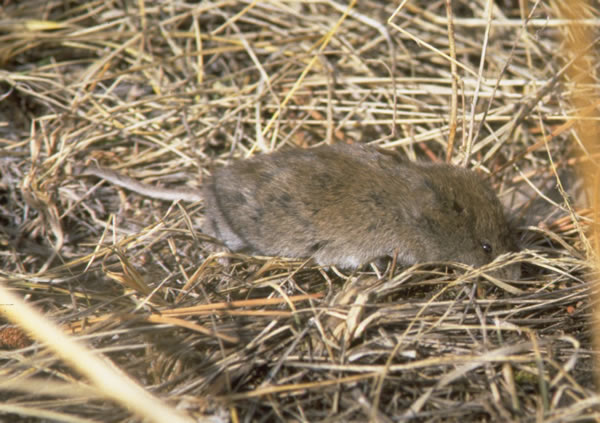 The average litter size of a Long-tailed vole is 5