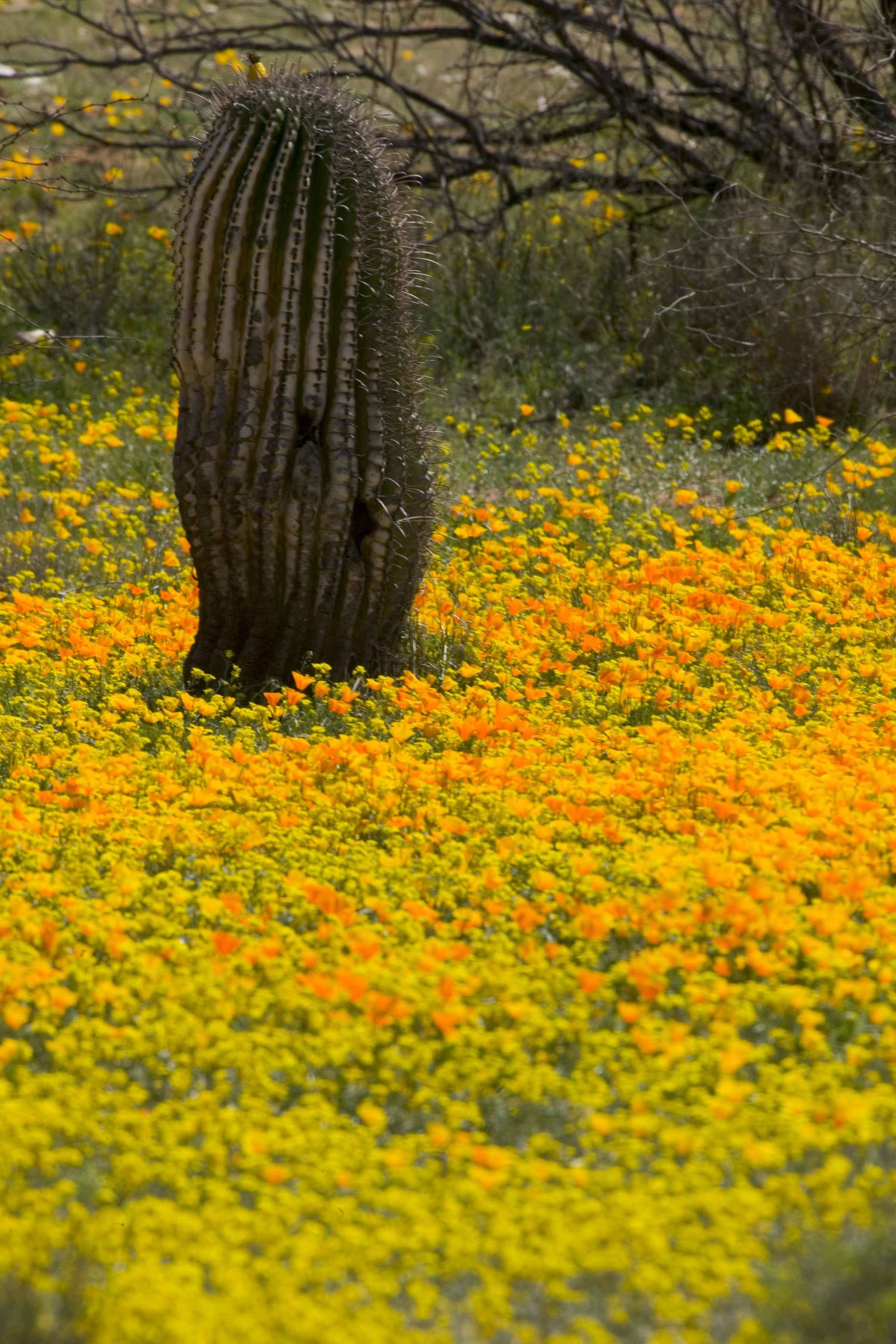 Filemexican poppies flowers and cactus desert plantsg filemexican poppies flowers and cactus desert plantsg mightylinksfo