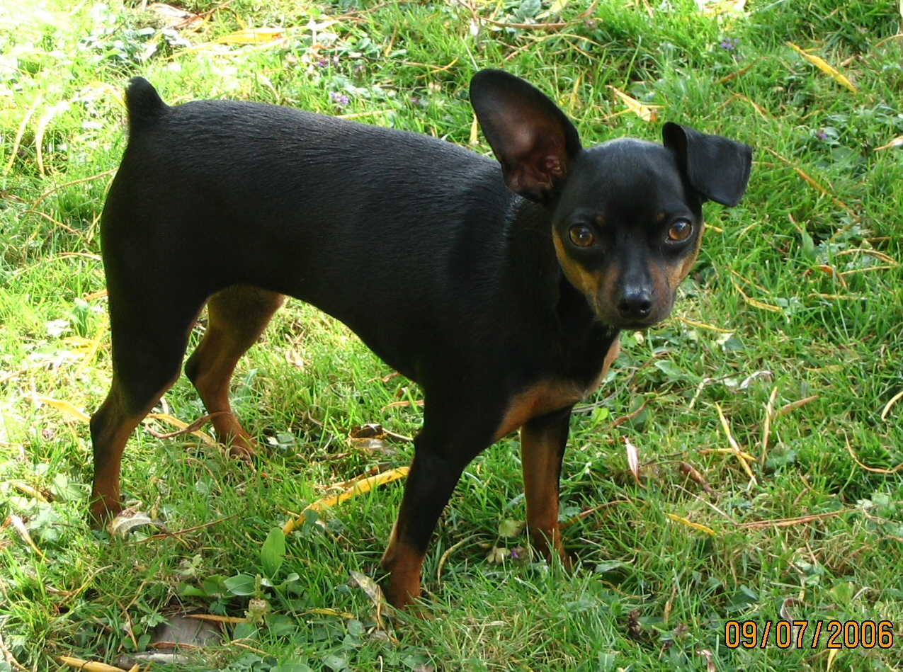 Minature Pinscher Dog
